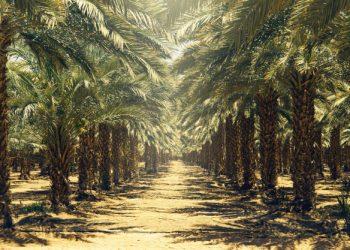 plantation-palmiers-dattiers-israel-belle-nature_110241-140